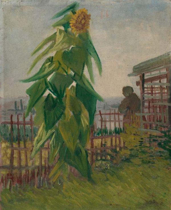 Vincent Van Gogh Allotment With Sunflower Van Gogh Museum